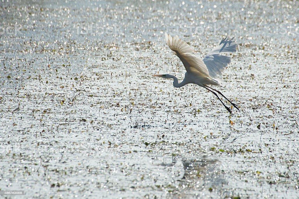 Casmerodius albus (Great White Egret) - Alviano (WWF reserve), Italy stock photo
