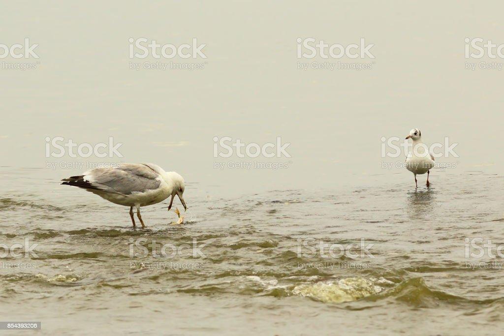 caspian gull at the fishing spot stock photo