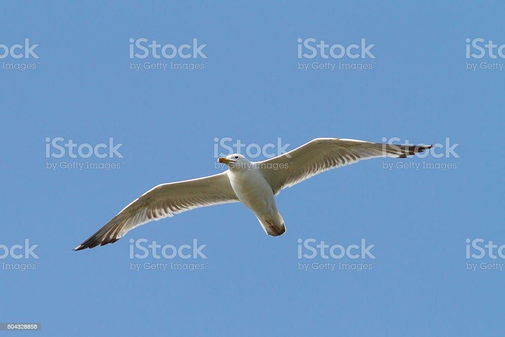 caspian gull flying over the sky stock photo