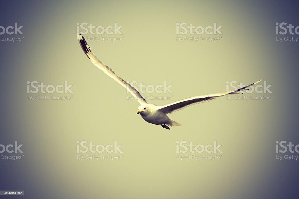 caspian gull flying towards the camera stock photo