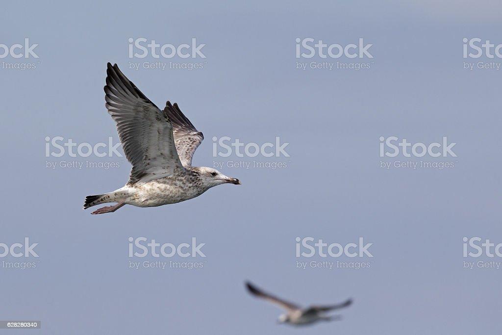 Caspian gull (Larus cachinnans) in flight at open sea. stock photo