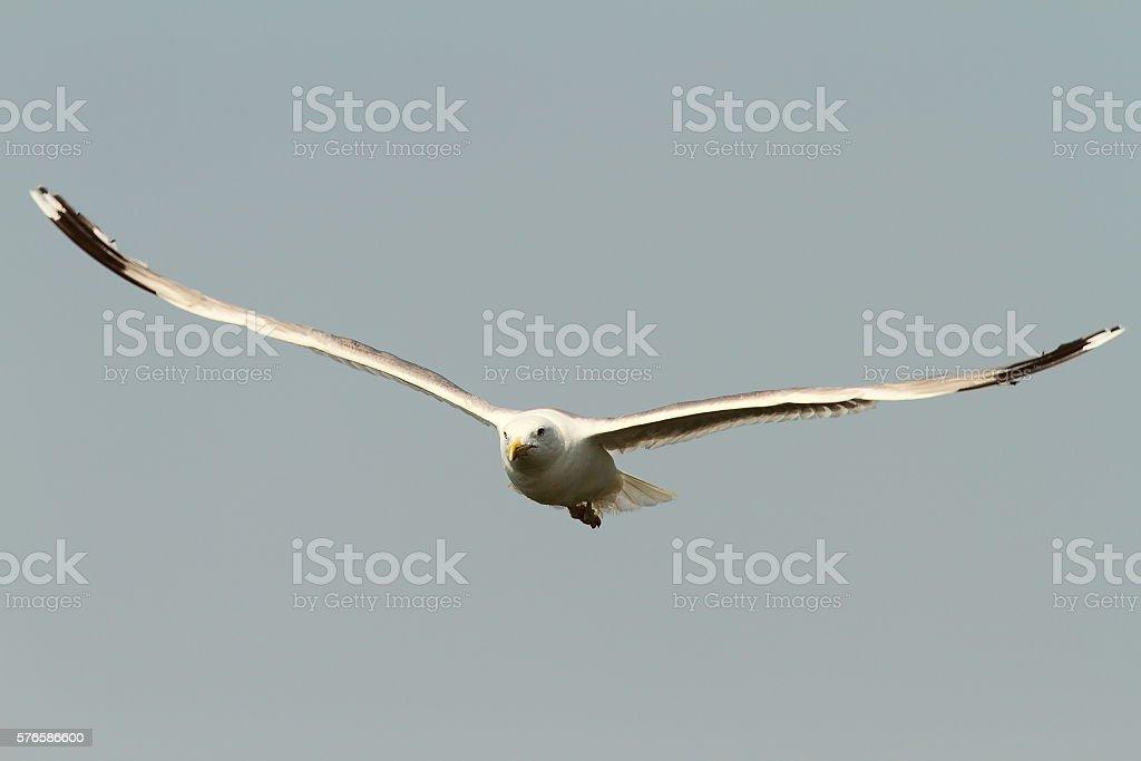 caspian gull in flight stock photo