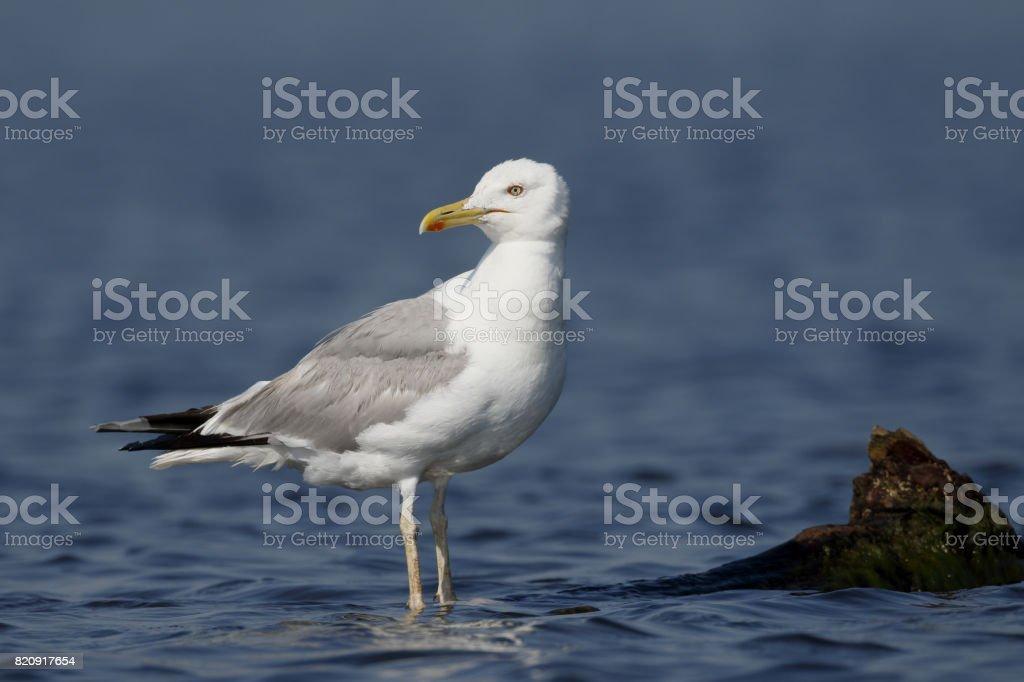 Caspian gull, Larus cachinnans stock photo