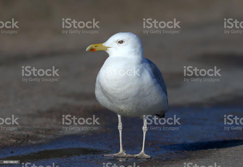 Caspian gull (Larus cachinnans) on the road stock photo