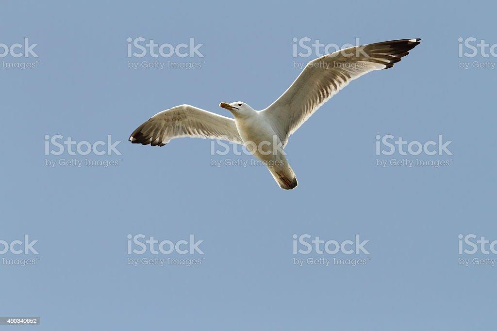 caspian gull over blue sky stock photo