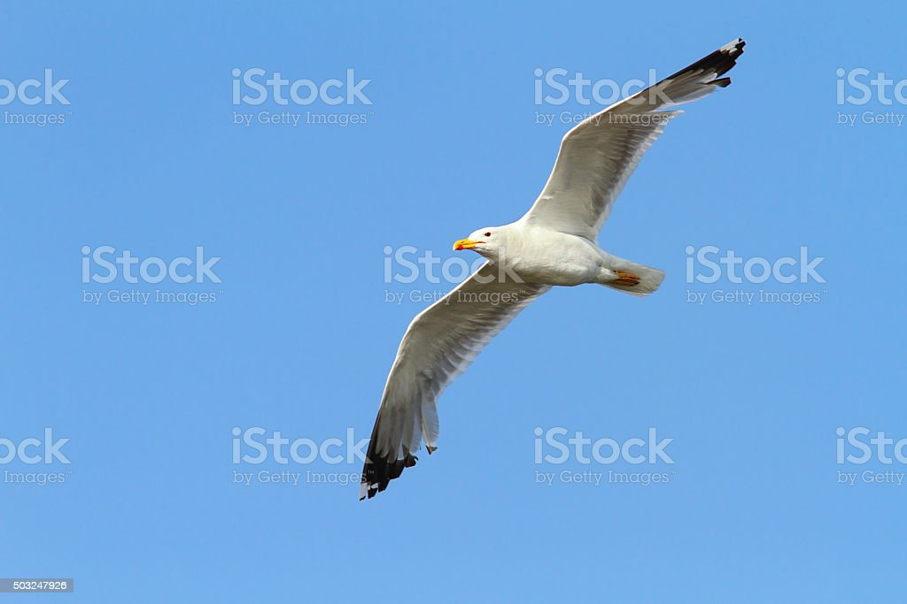 caspian gull over colorful sky stock photo