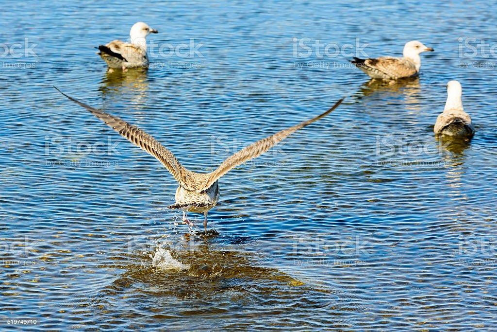 Caspian gull (Larus cachinnans) stock photo