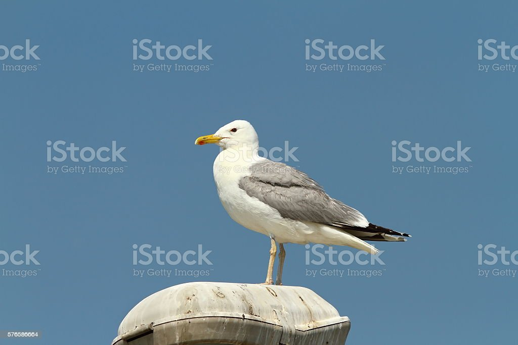 caspian gull resting stock photo