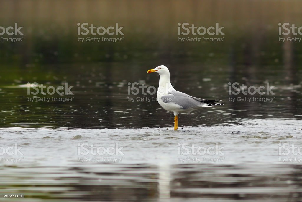 caspian gull stading in shallow waters stock photo