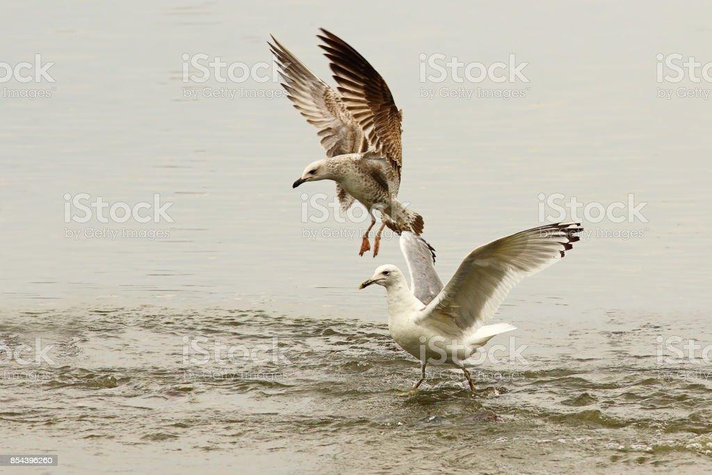 caspian gulls fighting for fishing spot stock photo