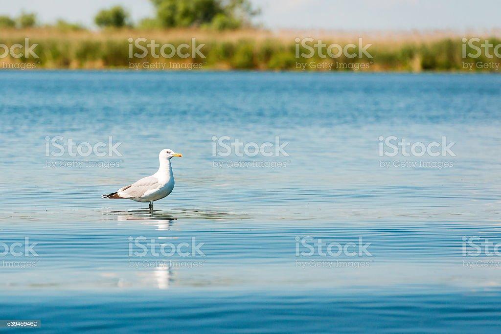 Caspian gulls, image taken in Danube Delta, Romania stock photo