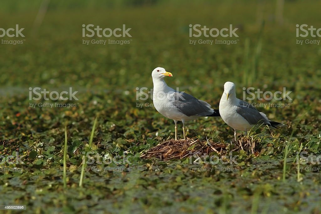 caspian gulls on the nest stock photo