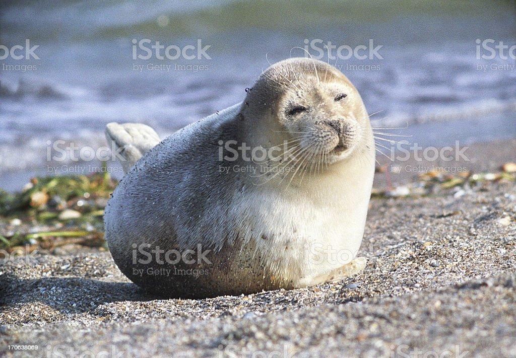 Caspian seal. – Foto