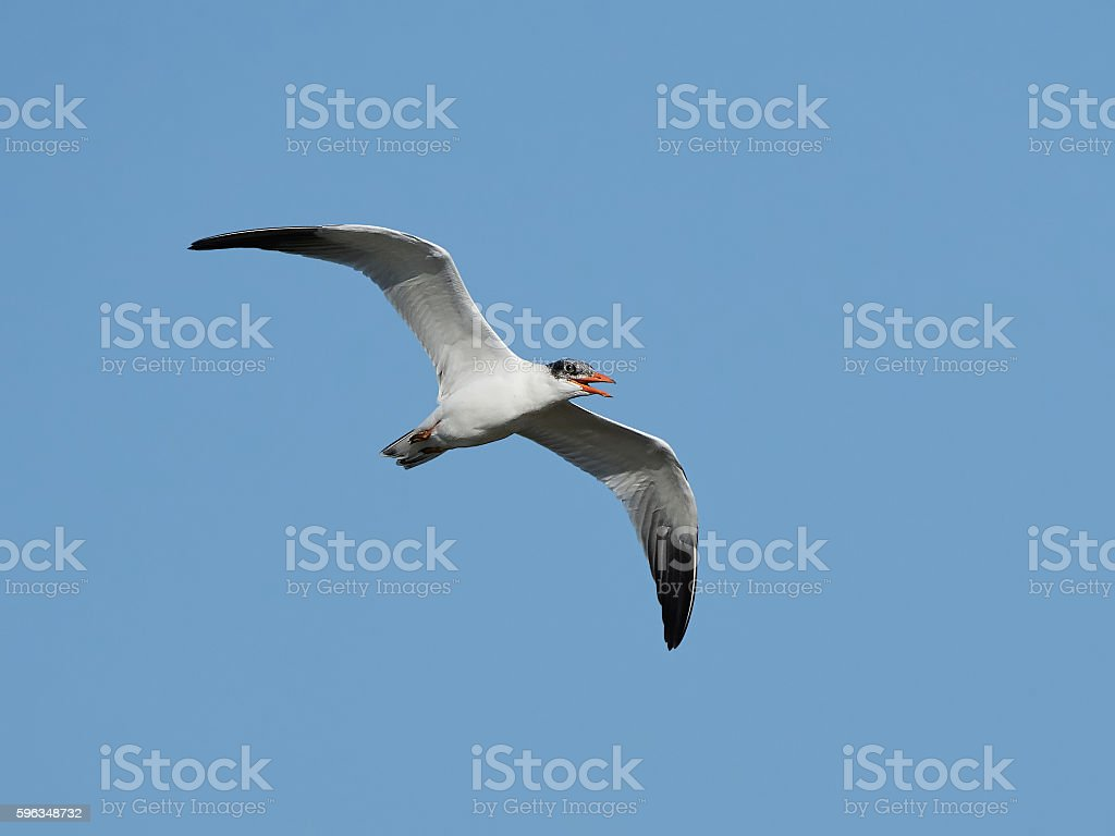Caspian tern (Hydroprogne caspia) royalty-free stock photo