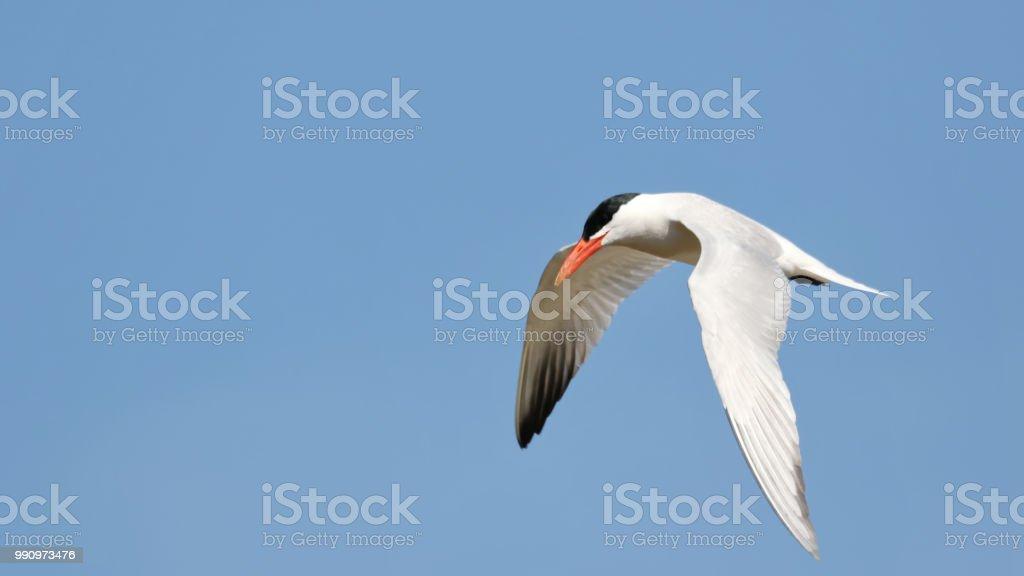 Caspian Tern stock photo
