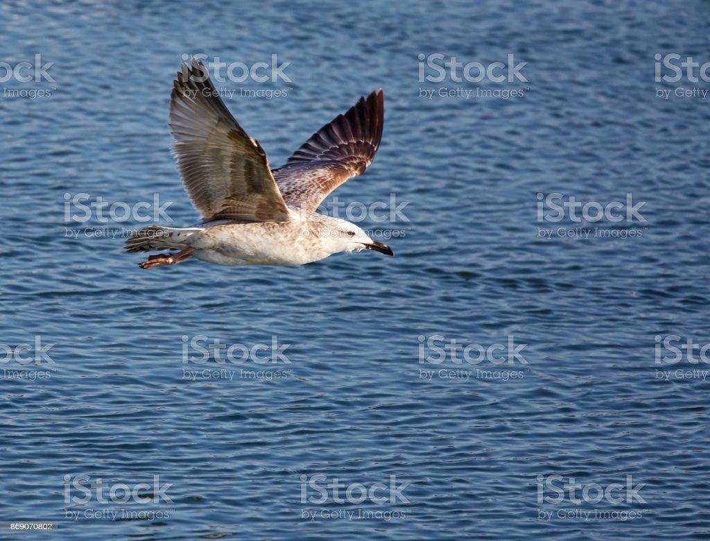 Caspiann gull in flight stock photo