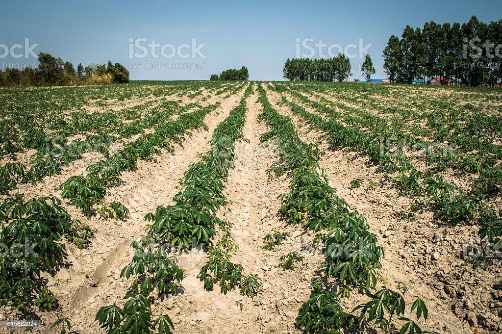 cassasva farm stock photo