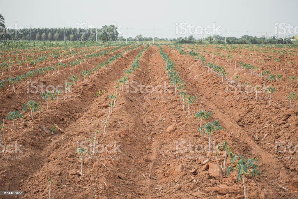cassava crop in Thailand stock photo
