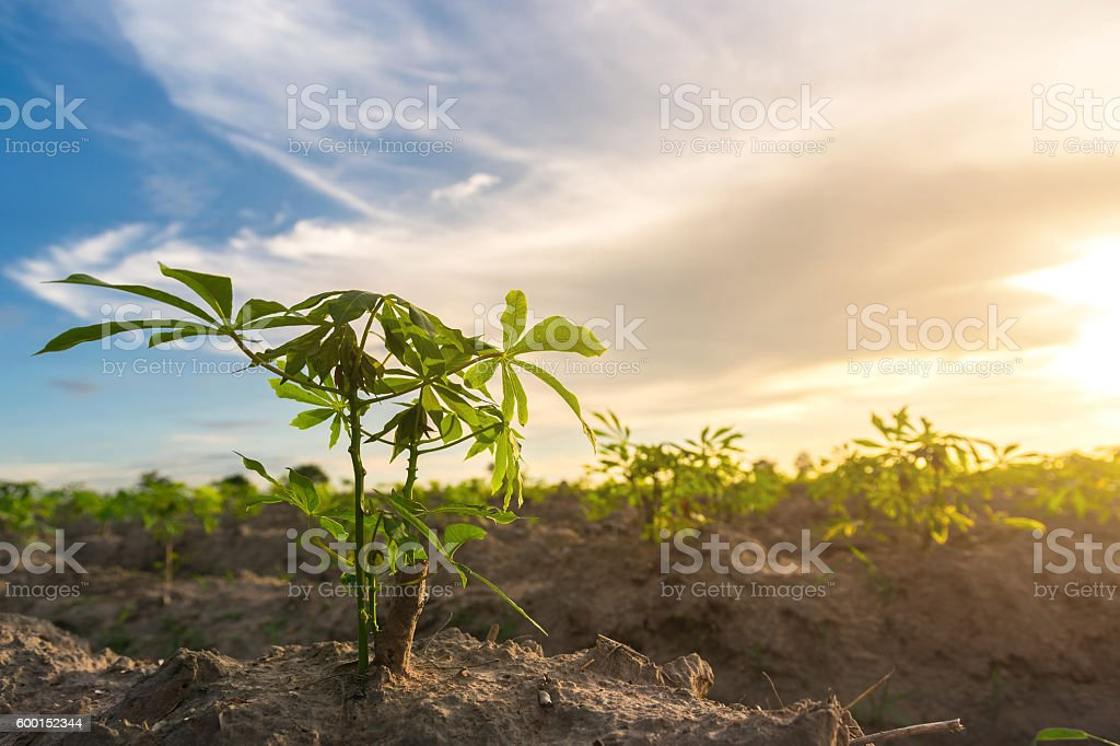 cassava in cassava field with sun set light stock photo