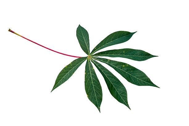 Cassava Blatt Hintergrund – Foto