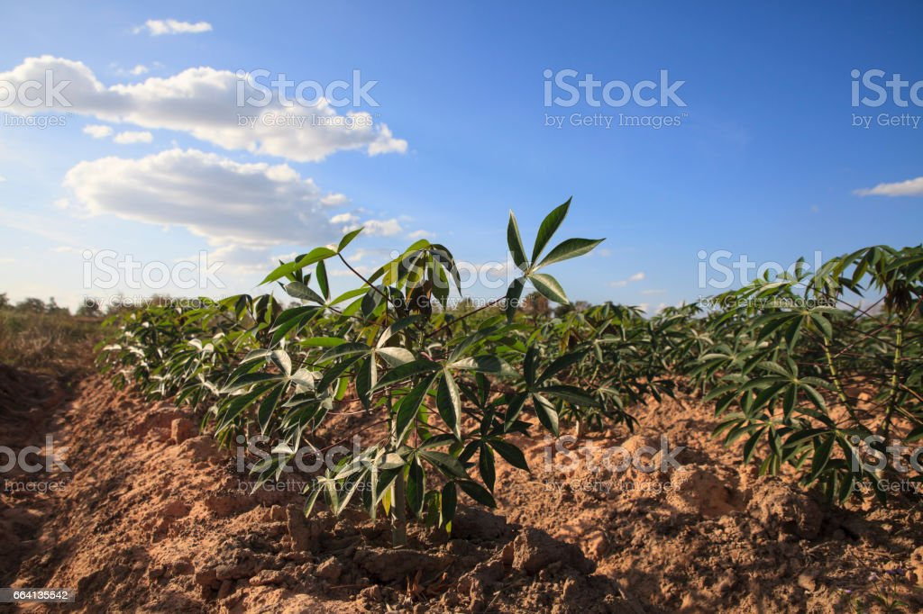 Cassava or Tapioca farmland agriculture. stock photo