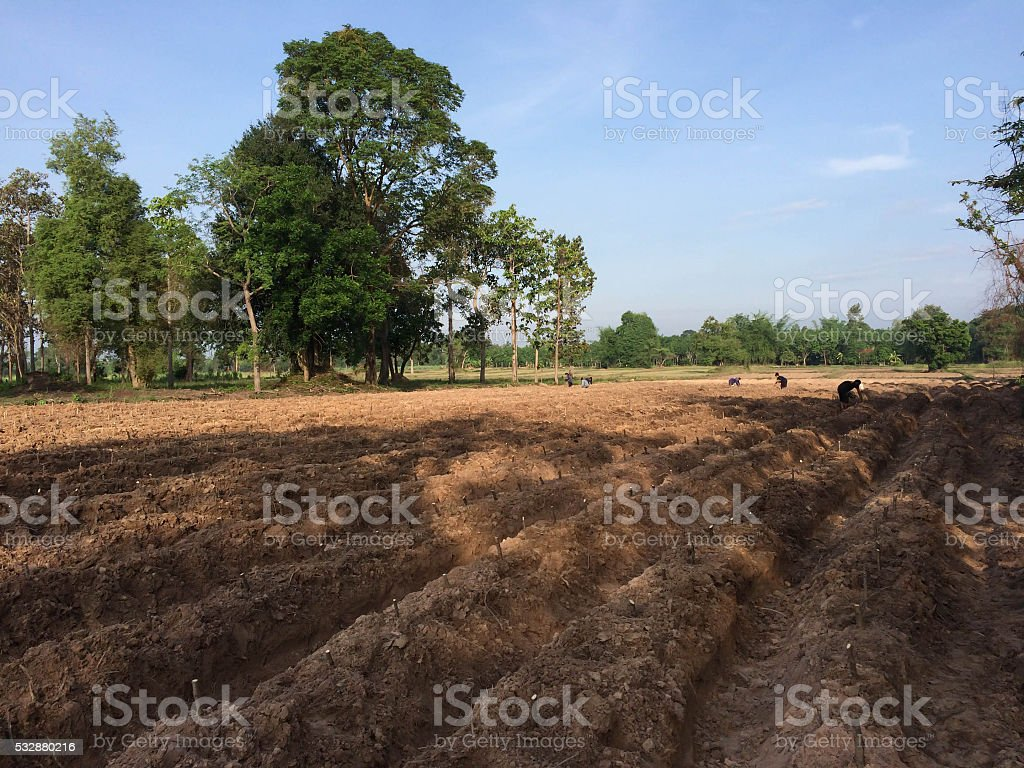 Cassava stock photo