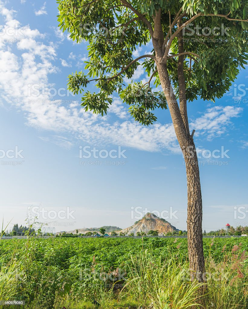 Cassava plantation stock photo