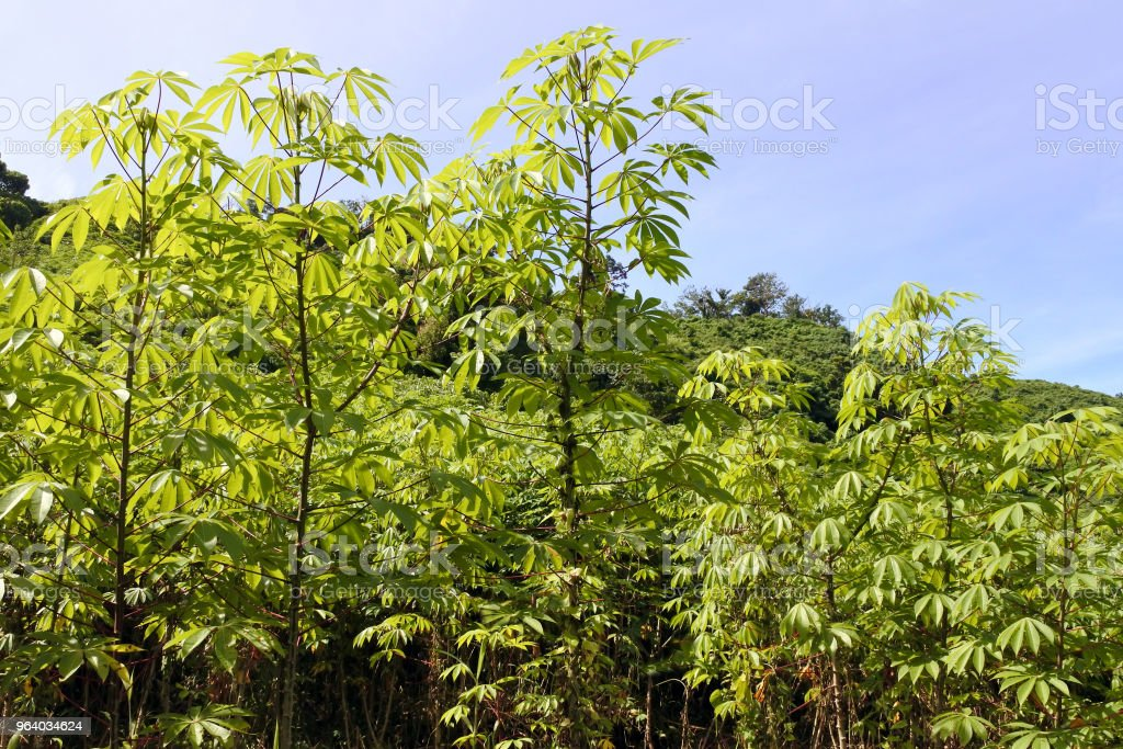 Cassava plants grows in a farm Fiji - Royalty-free Agricultural Field Stock Photo