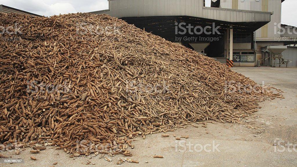 cassava prepared at tapioca flour factory royalty-free stock photo