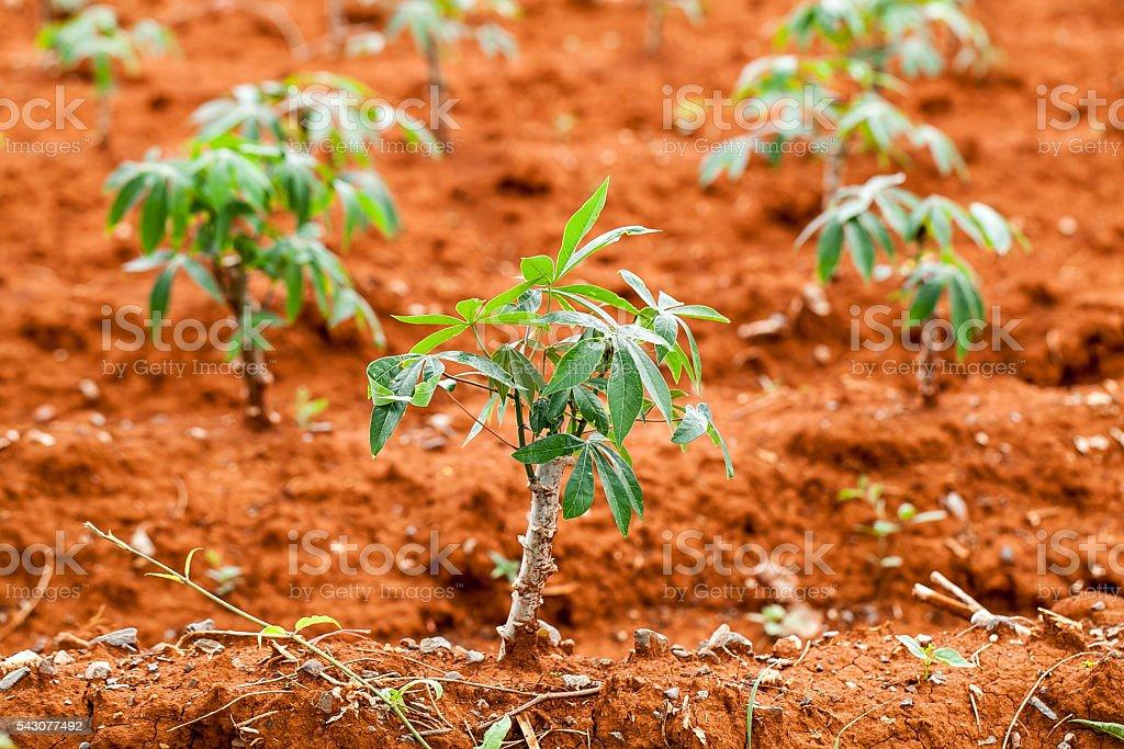 cassava tree in farm stock photo