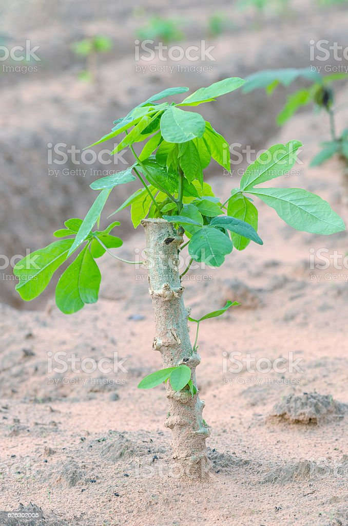 Cassava tree in farmland. stock photo