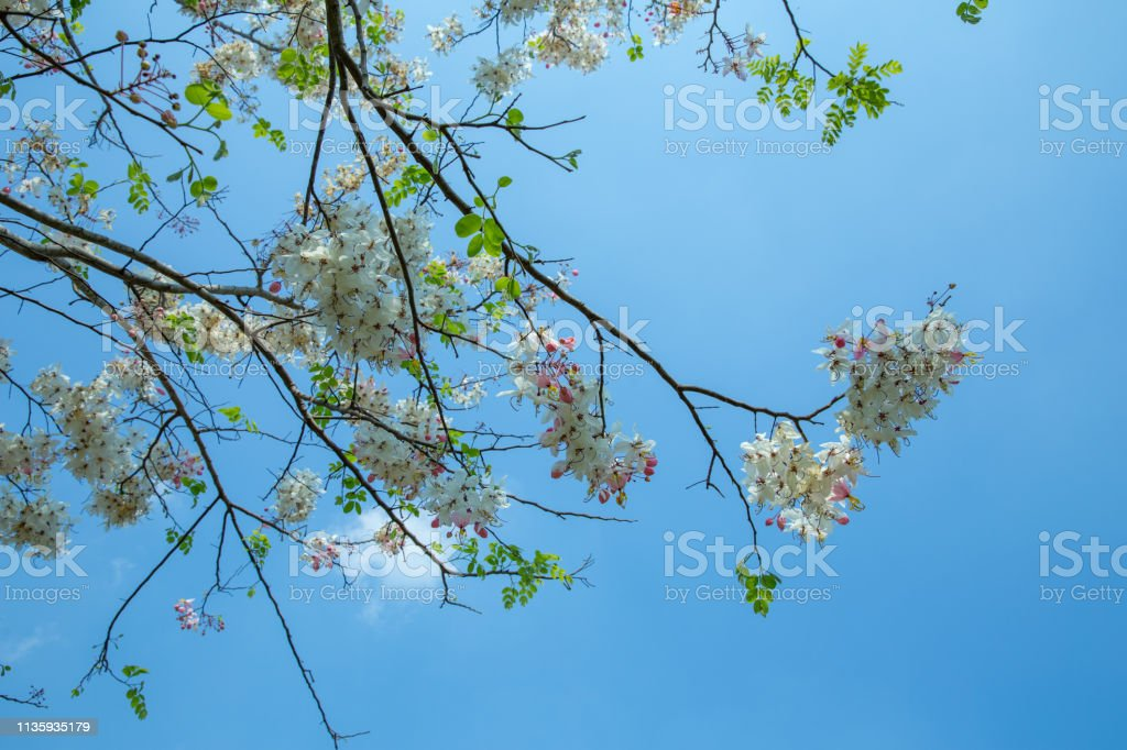 Cassia bakeriana Horse Cassia Pink It is a blooming pink tree full of flowers stock photo
