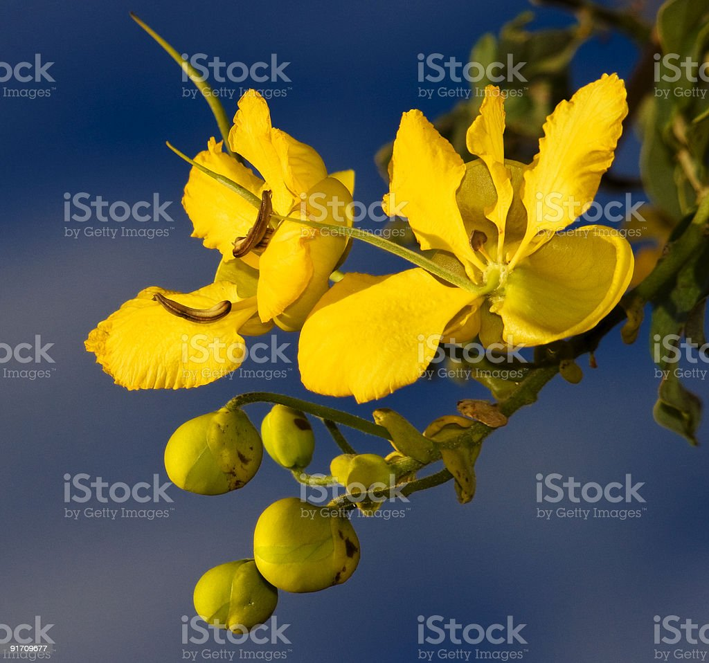 Cassia blooms royalty-free stock photo