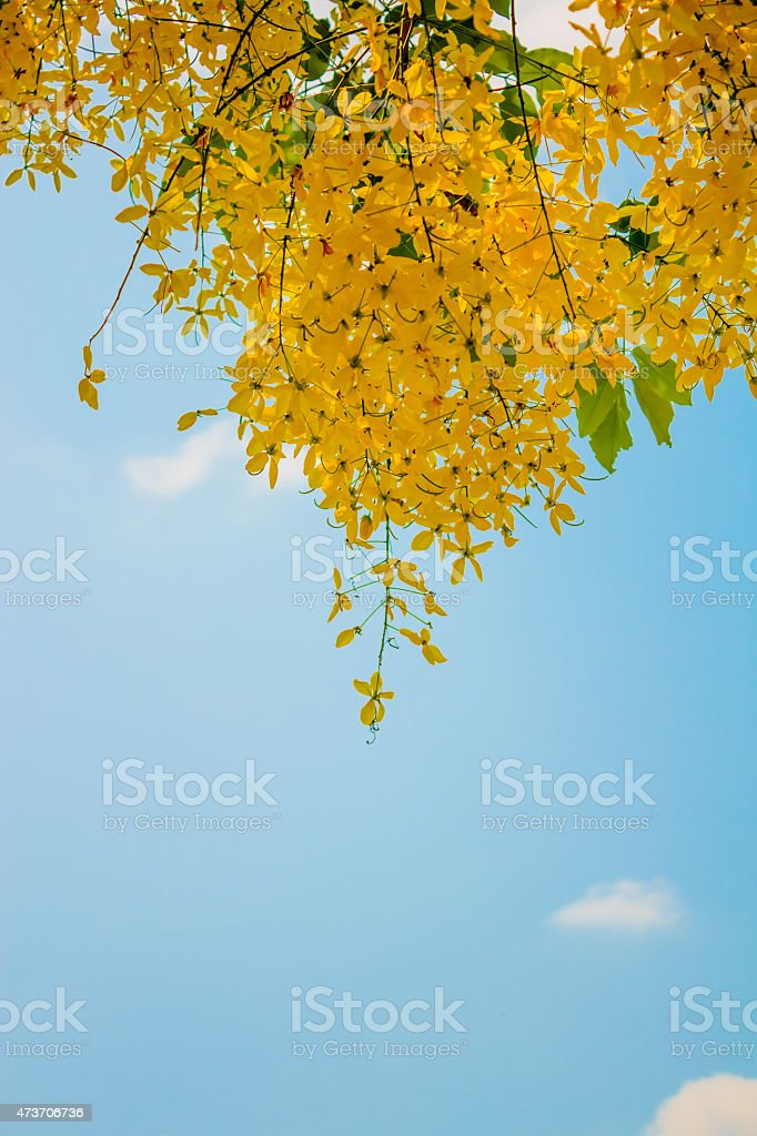 Cassia fistula flower isolated on white background stock photo