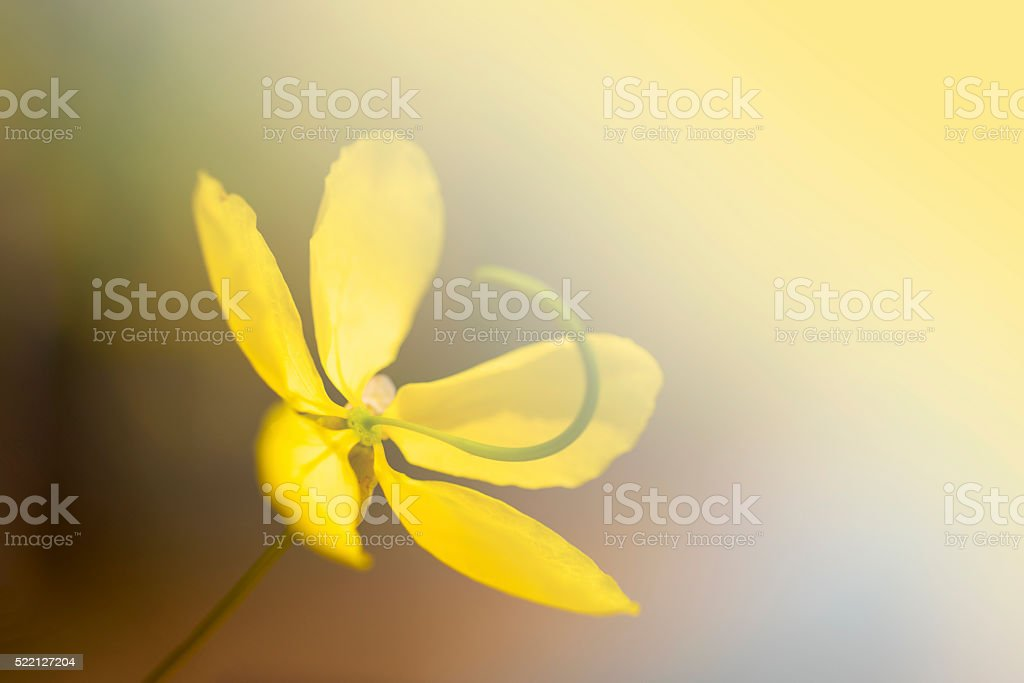 Cassia fistula flower stock photo