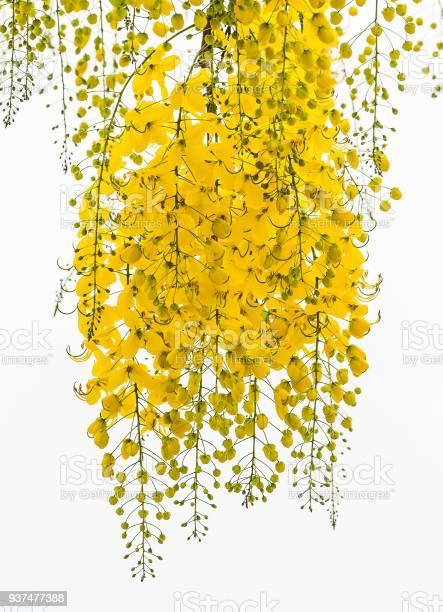 Cassia fistula flower picture id937477388?b=1&k=6&m=937477388&s=612x612&h=vosjiujms7vdlssfa9s q837abdxtmu2facnpz4gkj4=