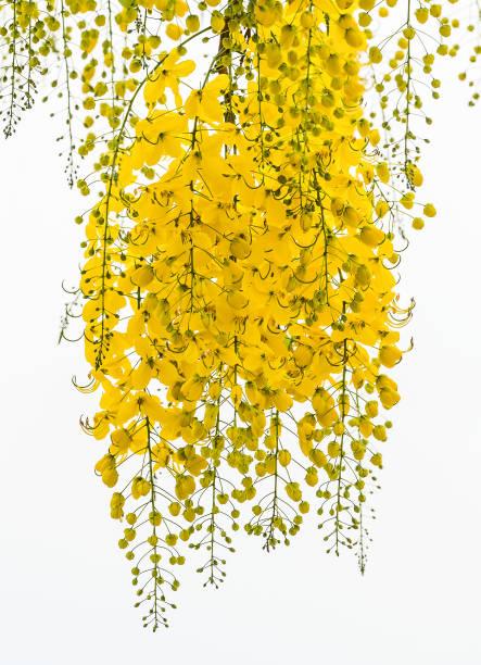 Cassia fistula flower. stock photo