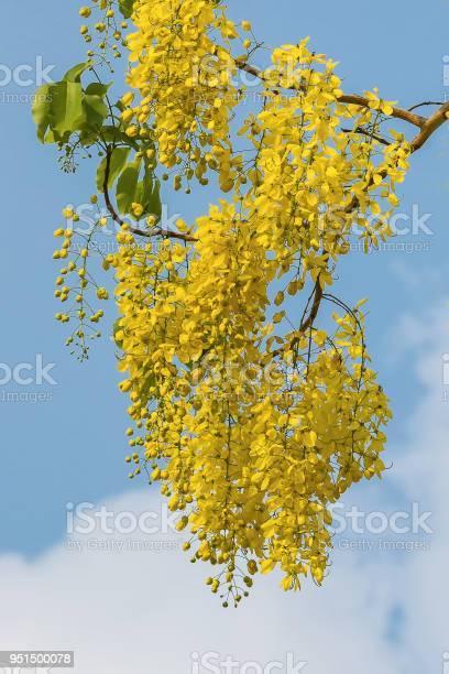 Cassia fistula flower picture id951500078?b=1&k=6&m=951500078&s=612x612&h=ezyytiuc89q8jkai0cx0laeiaopyajpuxh rcnr 0ue=