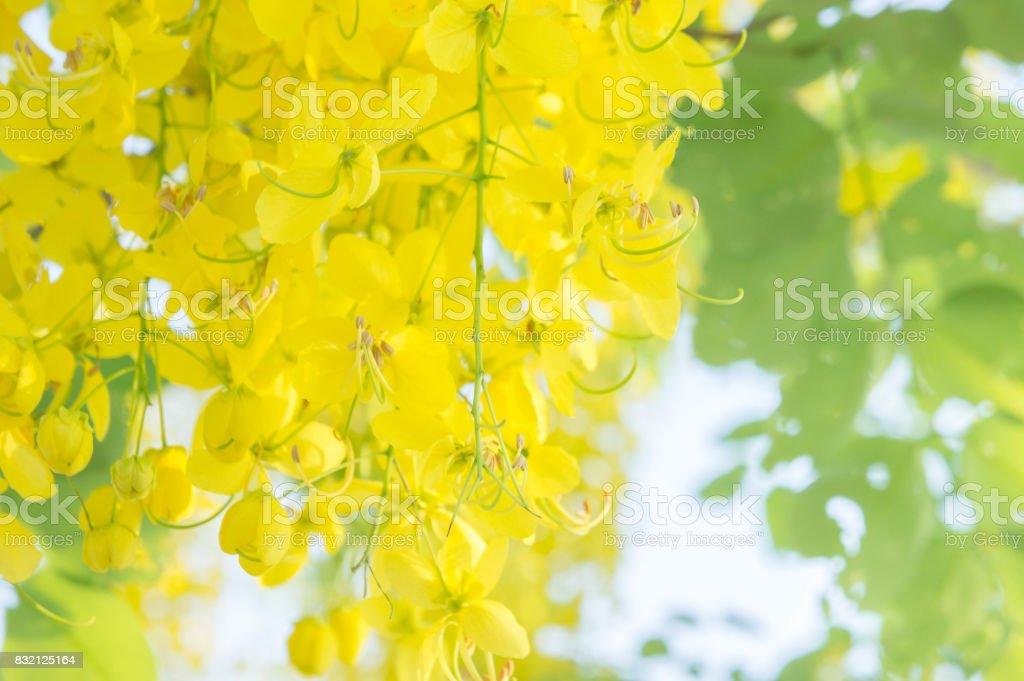 Cassia fistula flowers golden shower flowers yellow flowers summer cassia fistula flowers golden shower flowers yellow flowers summer in thailand royalty free mightylinksfo