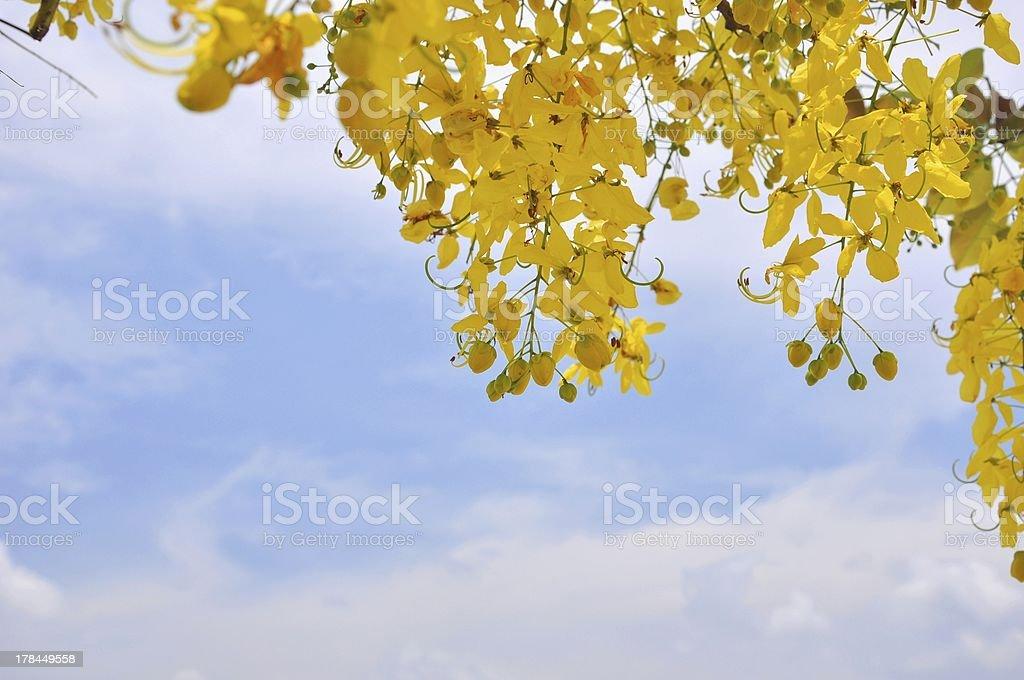 Cassia Fistula in clear blue sky royalty-free stock photo
