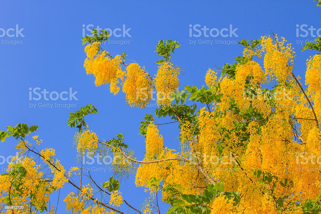 Cassia Fistula in clear blue sky stock photo