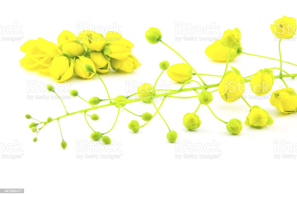 Cassia fistula isolated stock photo