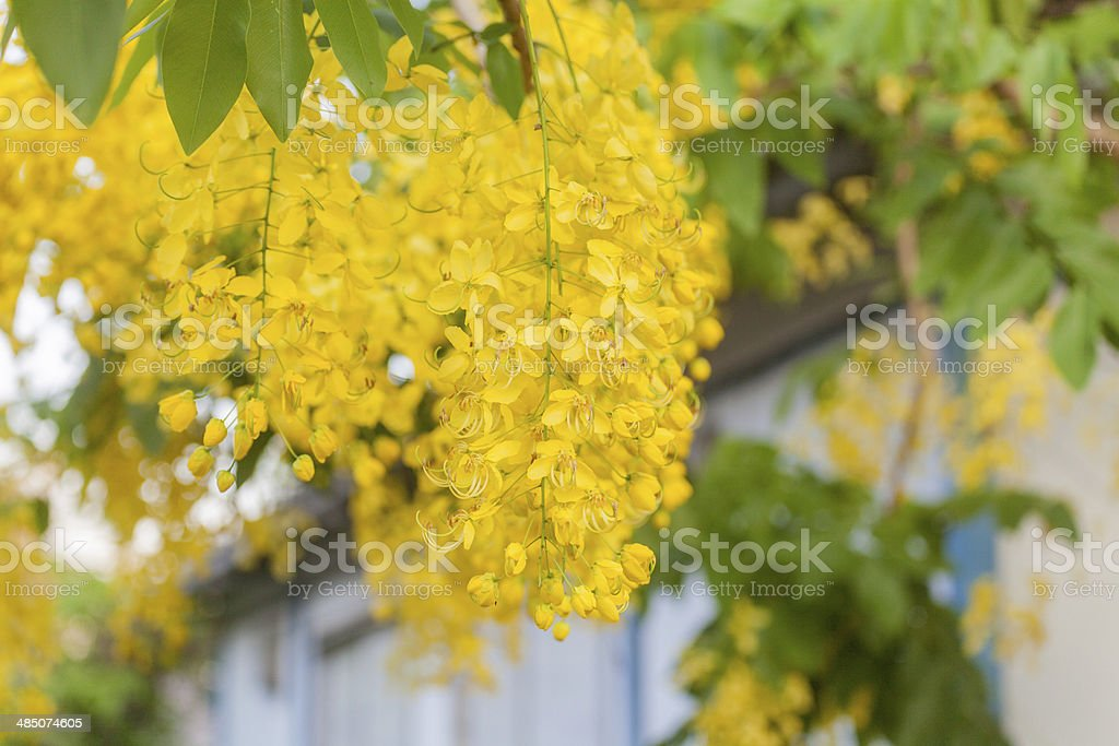 Cassia fistula stock photo