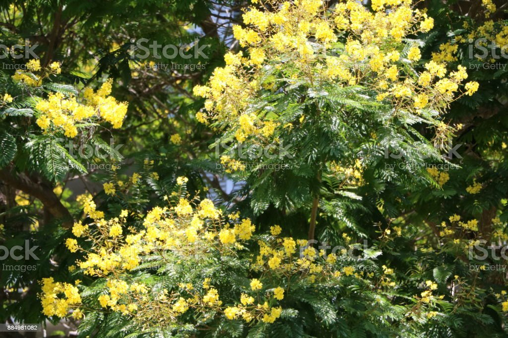 Cassia Fistula Tree With Yellow Flowers In Brisbane In Summer
