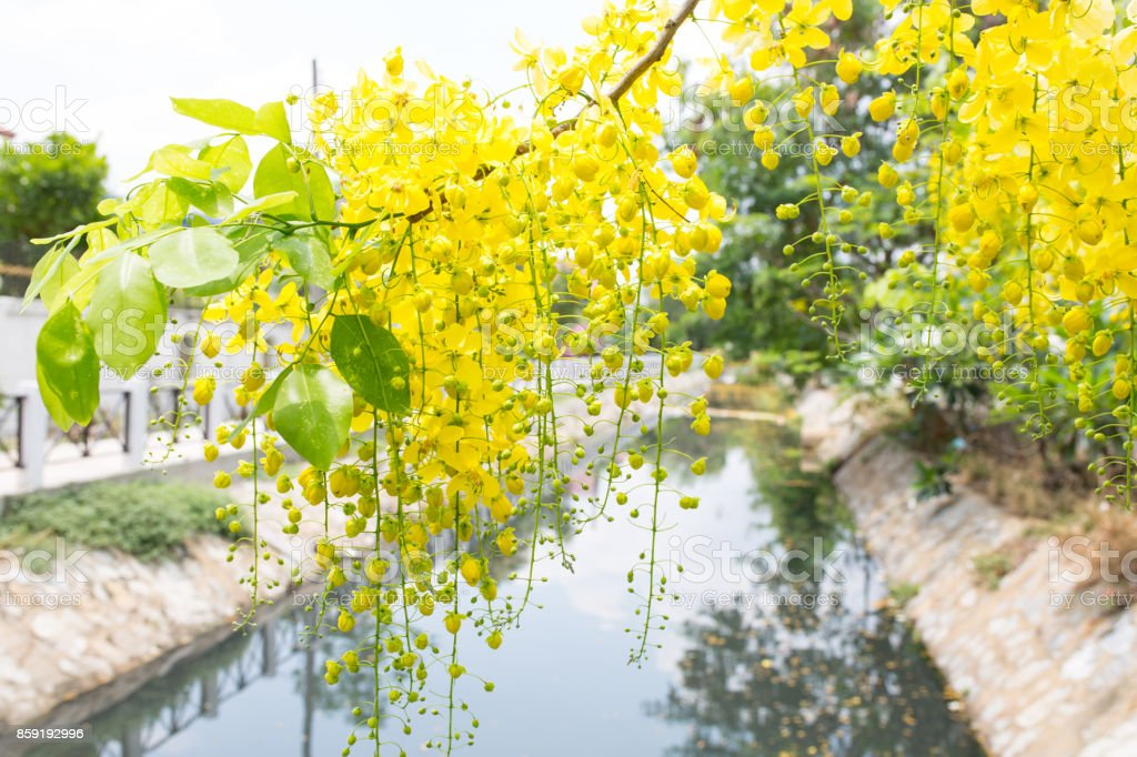 Cassia fistula yellow flower. stock photo