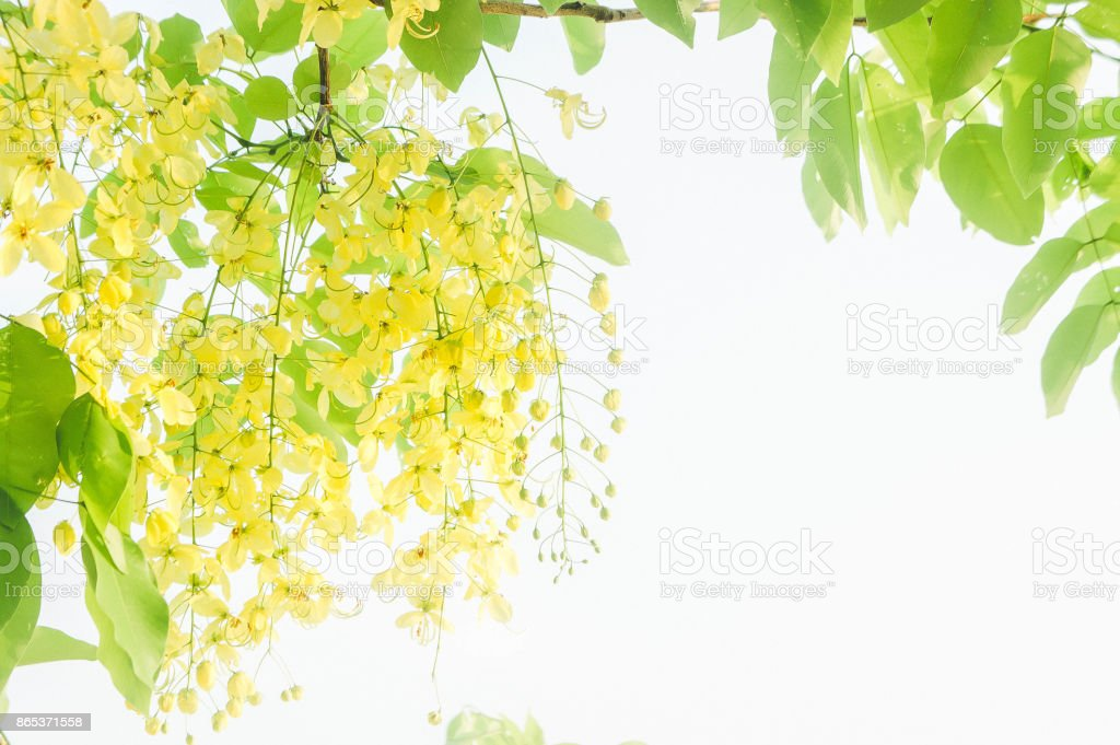 Cassia fistula yellow flowers daisy summer with filter vintage style and copy space stock photo