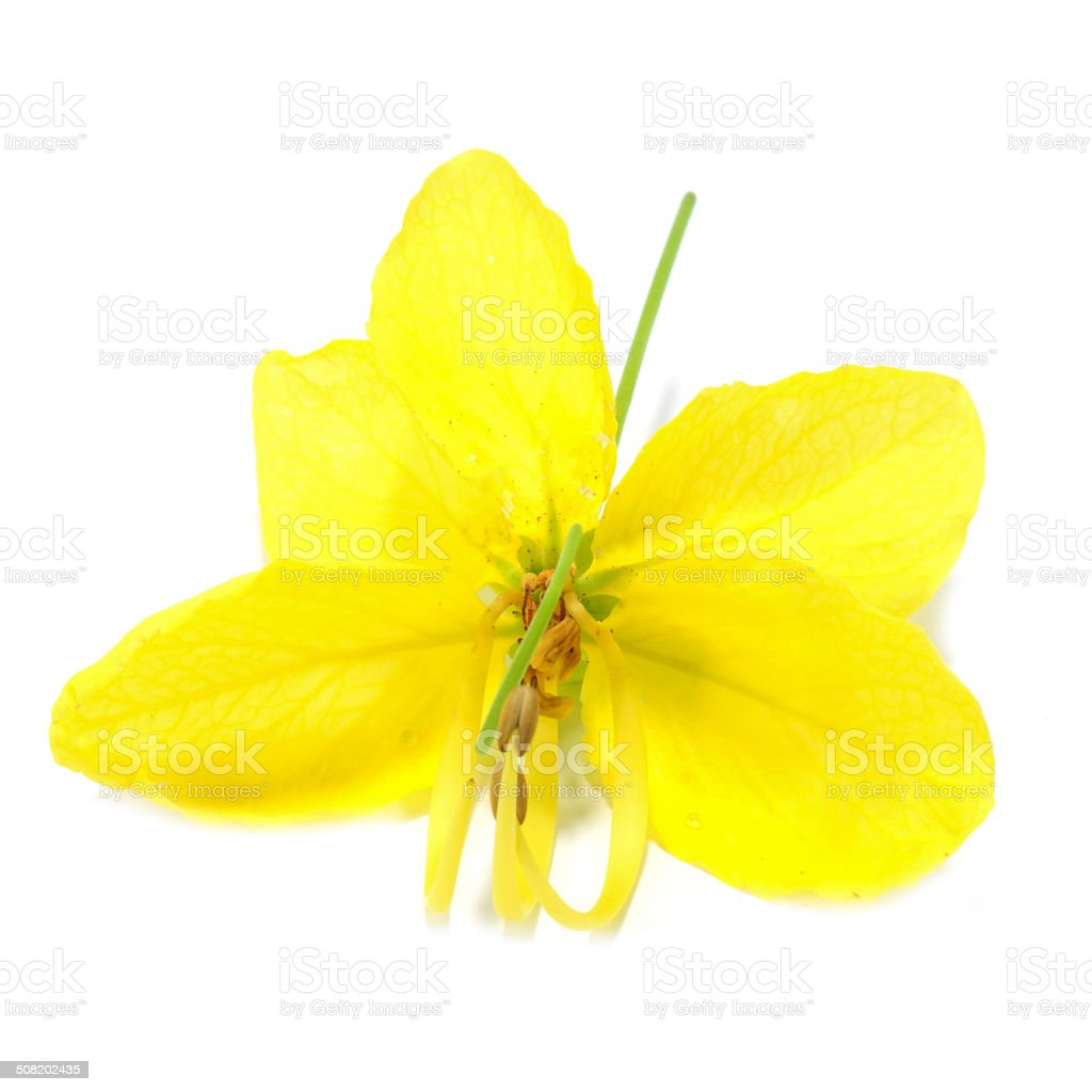 Cassia Flower on white background. stock photo