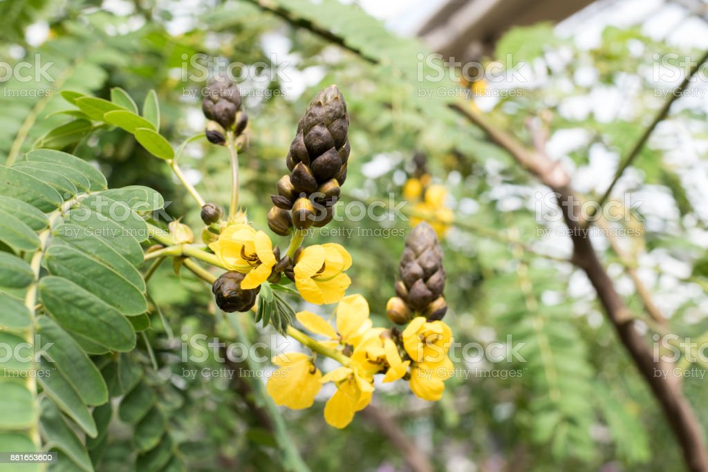 Cassia roxburghi stock photo