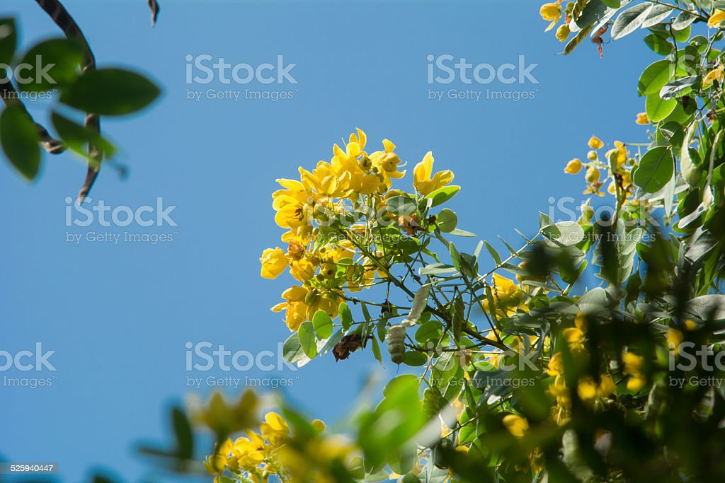 cassia surattensis  flower stock photo
