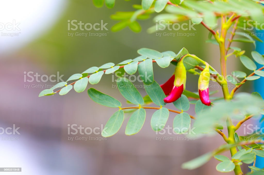 Cassia boom, Thaise koper Pod - Royalty-free Apparatuur Stockfoto